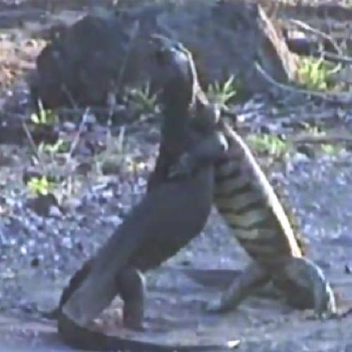 Lagartos são filmados em luta épica em parque africano