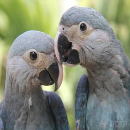 Casal de ararinhas-azuis chega ao Brasil para ajudar a combater...