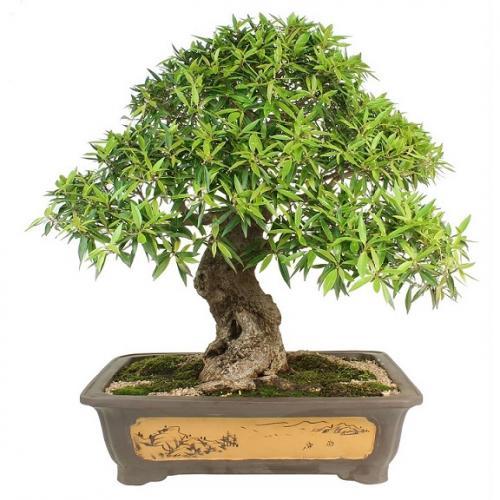onde comprar bonsai online toa na net agregador de